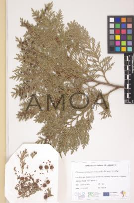 Chamaecyparis lawsoniana (A.Murray bis) Parl.